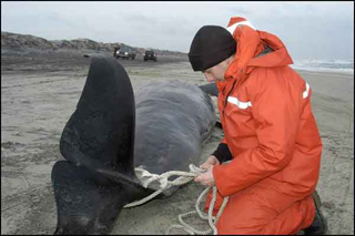 navy sonar beached dead whale
